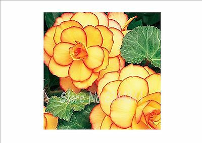 BEAUTIFUL!! Begonia Flowers Seeds, plant for home garden building, 200pcs