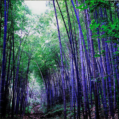 100Pc Rare Purple Bamboo Seeds Flower Seeds Plant Seeds Home Garden Decor