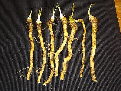 3X Horseradish Roots for replanting. Grown Organically. FREE P&P