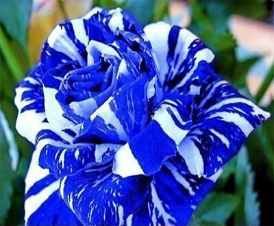 Fresh,70pcs RARE Blue Dragon Rose Flower Seeds Garden Plant*UK STOCK*