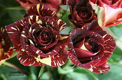 Fresh,70pcs RARE Meteor Shower Rose Flower Seeds*UK STOCK*