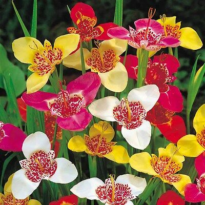 Tigridia Pavonia Tiger Flower Mexican Shell Flower Mixed Bulbs Lovely Perennials