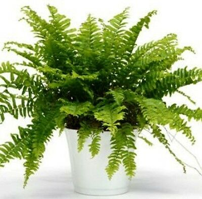 3 x TEDDY JUNIOR Nephrolepis exaltata ornamental indoor plants in 60mm pots