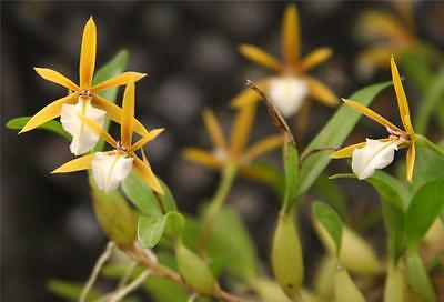 ORCHID - Epidendrum Polybulbon - MINIATURE SPECIES - FLOWERING SIZE