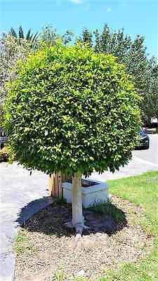 Standard Ficus tree - Mature and Large