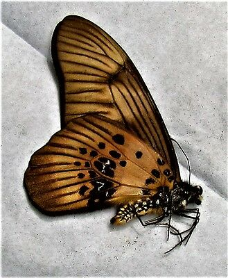 Lot of 2 Coppery Swordtail Butterfly Graphium latreillianus theorini Folded FAST