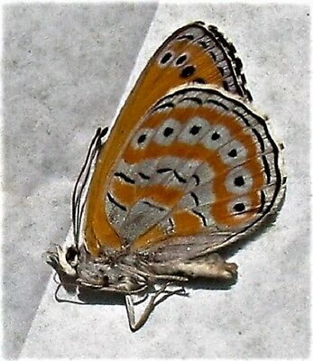 Shimmery Lavender Butterfly Asterope Crenis pechuelli Male Folded FAST USA