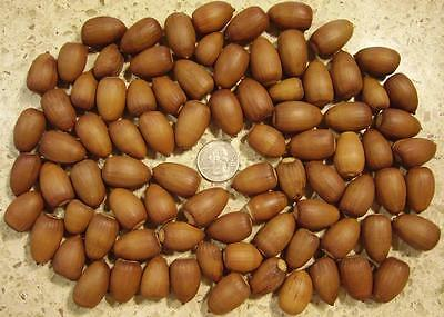 80+ Real Acorns - Heated & Cleaned with NO Caps - Arts and Crafts