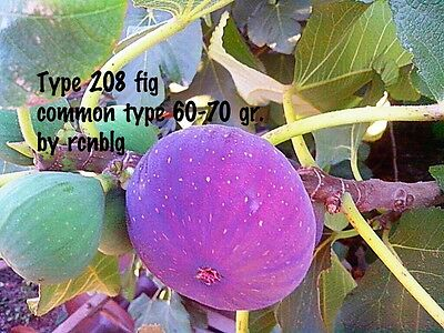 'Type 208' Fig Cuttings (1) Outstanding Turkish common variety