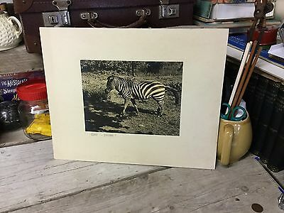 Old Mounted Black & White Photo Of A Zebra - Crossing?