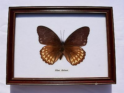 Framed Butterfly: BLUE KAISER, Taxidermy, Insects