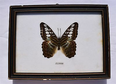 Framed Butterfly: PARTHENOS SYLVIA CLIPPER Taxidermy, Insects