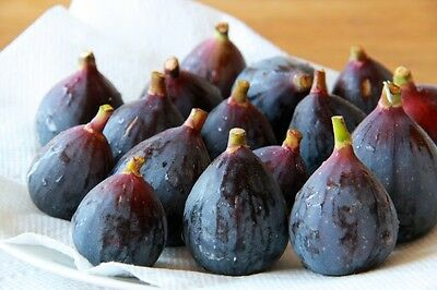 ORGANIC Fig Tree Moroccan 1X Cuttings Purple Large Red Flesh (Ao-Gol-uden)Female