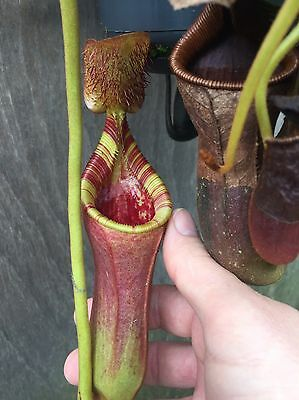 Nepenthes lowii (Trusmadi) 12cm