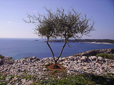 """Greek tree A4 12""""x8"""" photo art print. Image of Greece. Larger sizes available"""