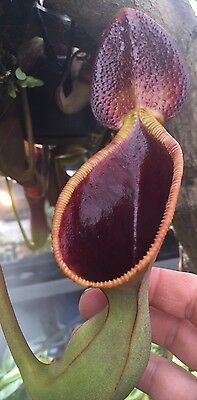 Nepenthes lowii (Murud) 15cm