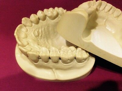 Dental Anatomy Stady  Presentation Models ( Upper & Lower)