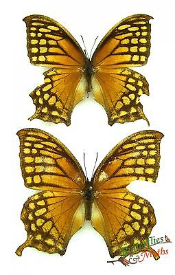 EXCELLENS leafwing Schmetterling CONSUL Set 2 Stück A2 SELTEN Probe Guatemala