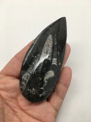 """80.7 Grams, 4"""" Hand Polished Fossils Orthoceras SQUID Morocco, MF275"""