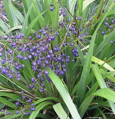 EMPEROR'S PEARL Dianella tasmanica native blue-green strappy plant in 140mm pot