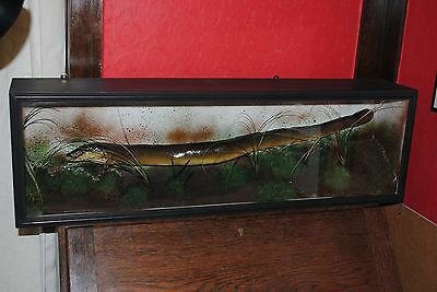 vintage fishing - Cased mounted eel in modern flat fronted case