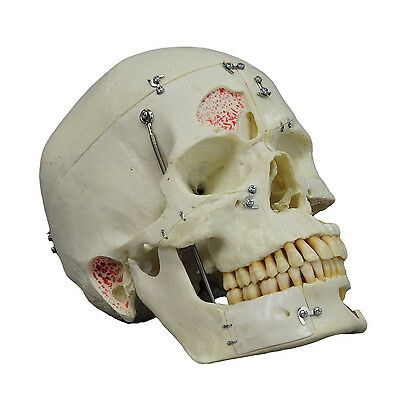 vintage anatomical teaching modell - human skull, synthetic material, SOMSO