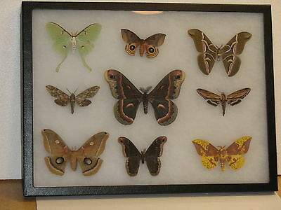 Real framed North American Moth Collection