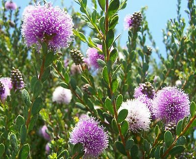 SHOWY HONEY-MYRTLE (Melaleuca nesophila) Seeds