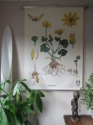 Vintage Pull Roll Down  School Wall Chart Of Buttercup Flower  Botanical Card