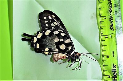 Madagascar Giant Swallowtail Papilio antenor Female Folded/Papered FAST FROM USA