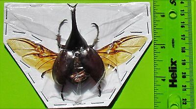 Lot of 10 Rhinoceros Beetle Xylotrupes gideon gideon Male Spread FAST USA