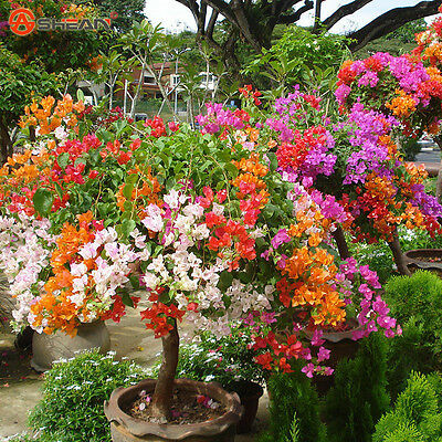 Mix Color Bougainvillea Yard Bonsai Flower Seeds Home Garden Full Color Seed 100