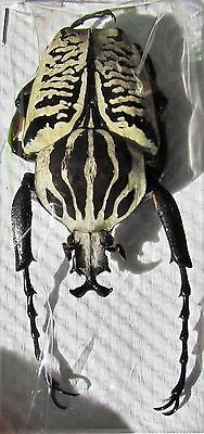 Goliath Beetle Goliathus albosignatus kirkianus Male 50 mm FAST SHIP FROM USA