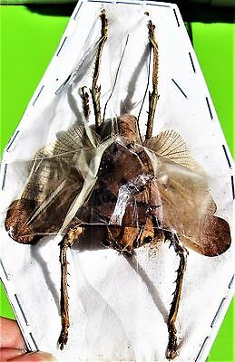 Rare Dragon Head Grasshopper Acridoxena hewiana Male FAST SHIP FROM USA