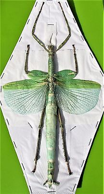 Huge Winged Stick Bug Eurycnema versirubra Female (Green) Spread FAST FROM USA