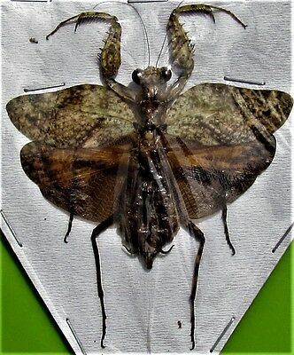 Leaf Mimic Mantis Theopompa servillei Female Spread  FAST SHIP FROM USA