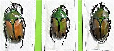 Tanzanian Flower Beetle Eudicella euthalia euthalia Male FAST SHIPPING FROM USA