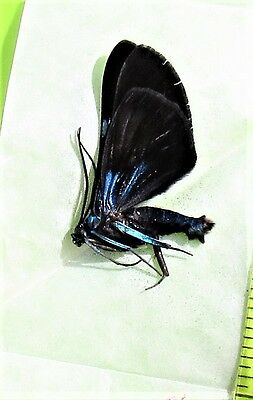 Beautiful Day Flying Moth Milionia delicatula Folded FAST SHIP FROM USA