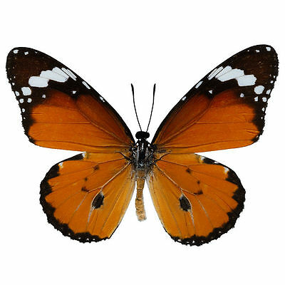 Lot of 2 African Monarch Butterfly Danaus chrysippus chrysippus Folded FAST