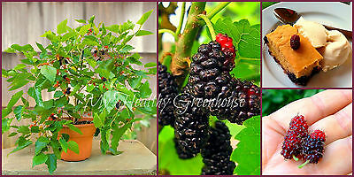 """SEEDS–Abundant Producer Dwarf Mulberry """"Issai"""" Performs very well in Containers!"""