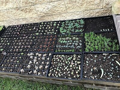 30 X Mixed Cuttings And Rooted Succulents, Kalanchoe, Aeonium Aloe Plants Garden