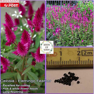 100 CELOSIA SEEDS(Celosia spicata), Great for dried arrangements