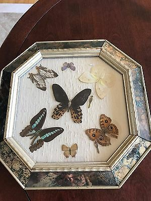 Antique Vintage Butterfly Taxidermy Display Case 7 Real Butterflies Mounted