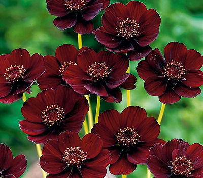 Chocolate Cosmos Flower Seeds 30 Pcs / Bag Beautiful New Varieties Of Coreops