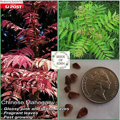 25 CHINESE MAHOGANY SEEDS(Toona sinensis); Fragrant edible plant