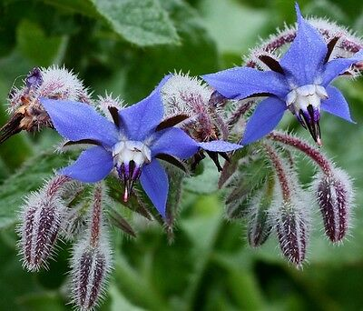 Borage (60 seeds)- Organic Heirloom, seeds from Life-Force Seeds