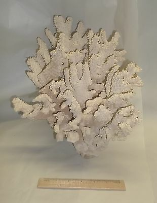 Genuine Hard White Stem Staghorn Coral Saltwater Aquarium Reef Decoration 13X10""