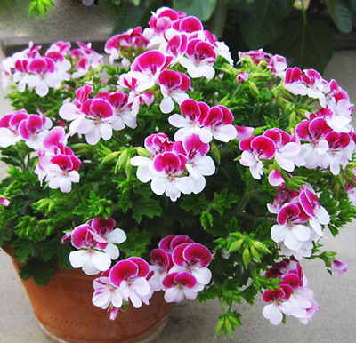 20 PCS/Bag Two-color Red White Univalve Geranium Seeds Perennial Flower Seeds