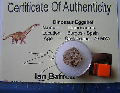 Rare Large Piece  Of Titanosaurus Dinosaur Eggshell-With Certificate. Spain