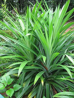 50 Pcs Fresh and Rare Potted Annual Seeds - Pandanus